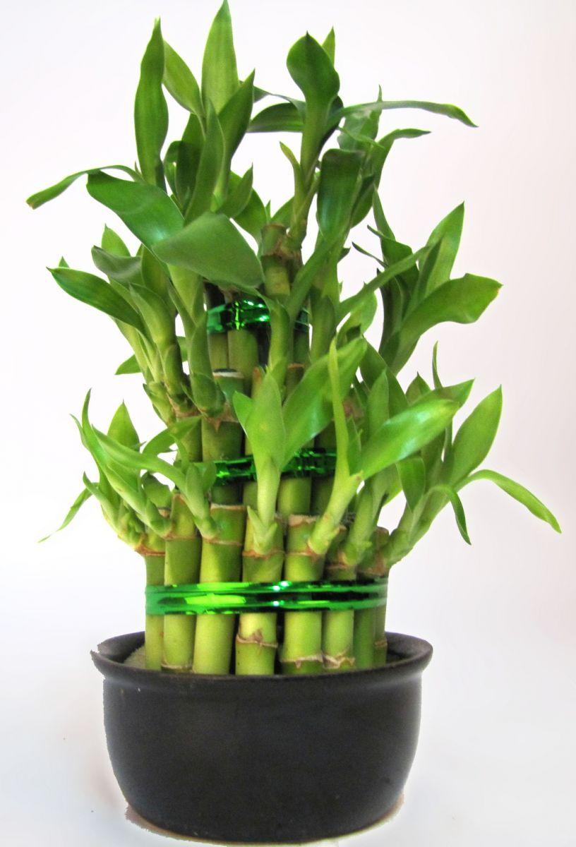 Уличный бамбук в домашних условиях размножение посадка и уход фото