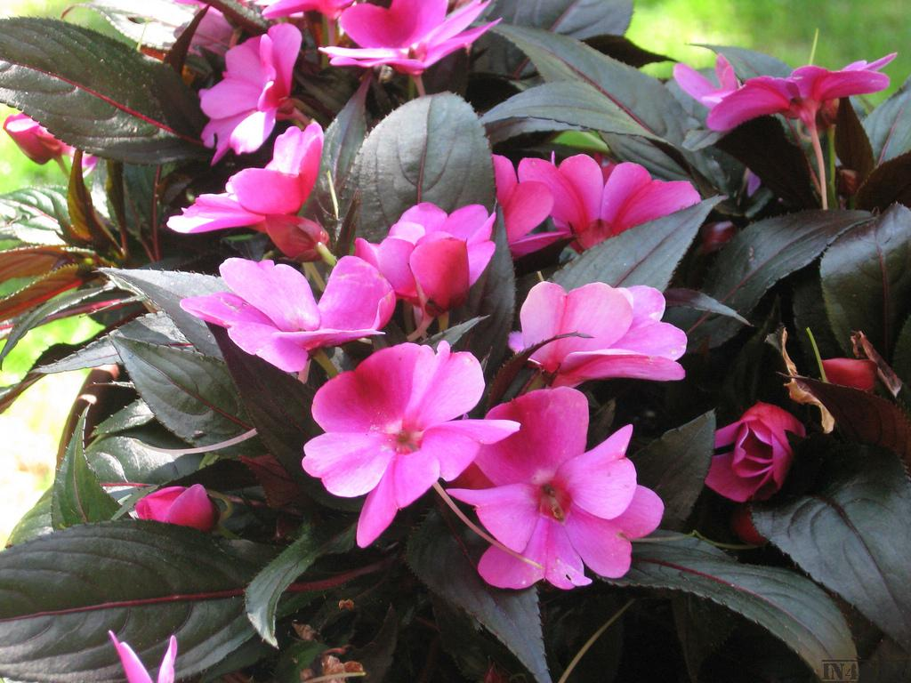 Цветок бальзамин домашний